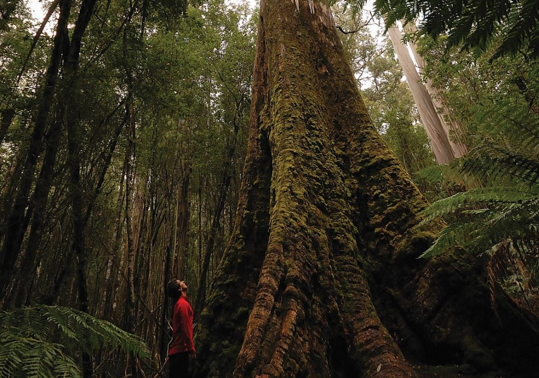 Swamp gum (Eucalyptus regnans) on the Tall Trees Walk