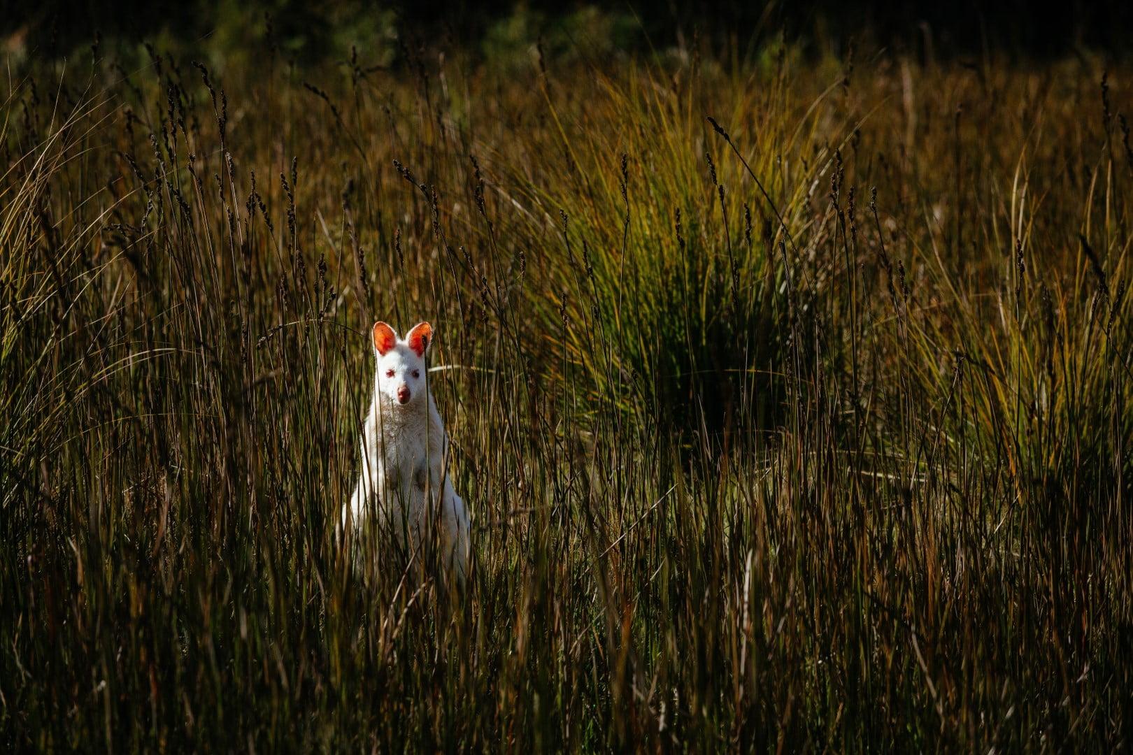 Albino Bennetts Wallaby (Macropus rufogriseus)
