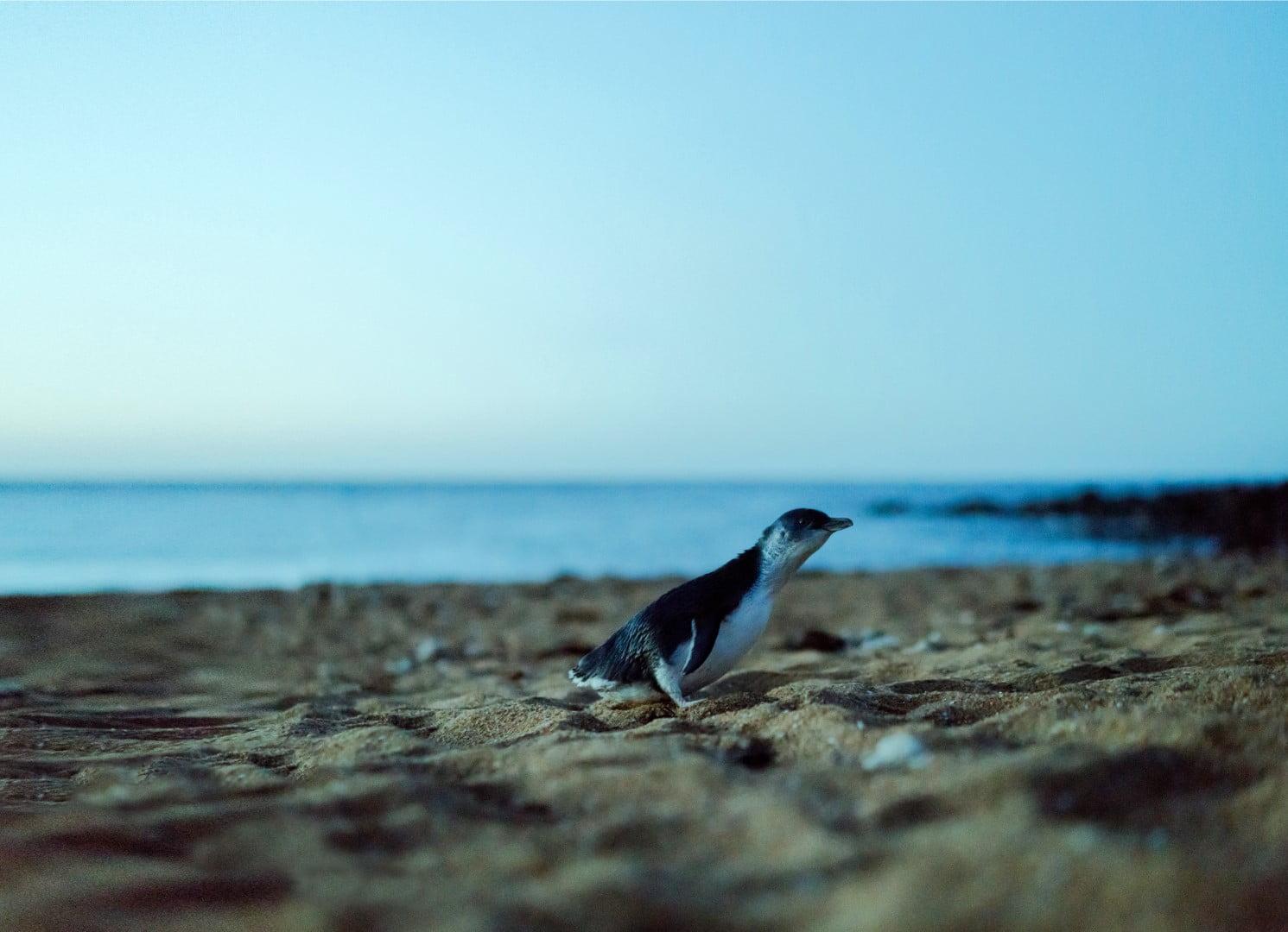 Little penguins (Eudyptula minor)