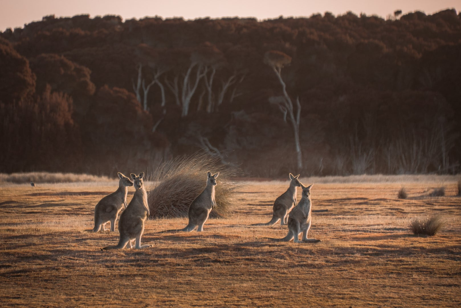 Kangaroos on Springlawn, Narawntapu National Park
